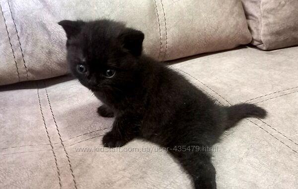 Шотландские котята прямоушка