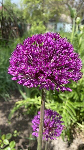 Декоративный лук и чеснок. Аллиум. Луковицы. Цветы для сада, клумбы.
