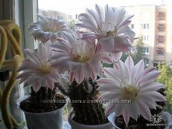 кактус цветущий