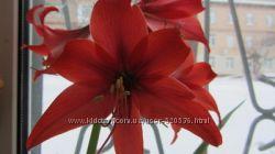 цветок домашний гипеаструм