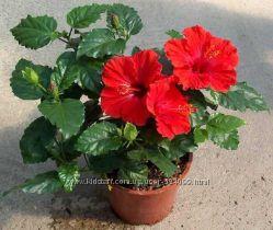 гибискус китайская роза красные