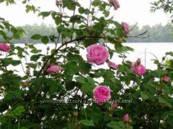 продам чайную розу