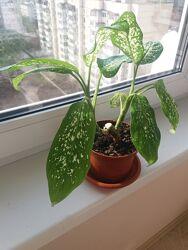 Дифенбахия комнатное растение цветок вазон
