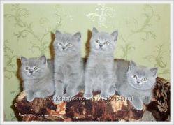 Настоящие шикарные британские котята
