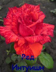 Розы. Кусты чайно-гибридных роз.