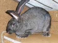 Кролики породы Обер из Австрии