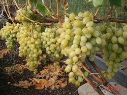 Саженцы . Виноград - крупноягодные сорта. Кишмиш