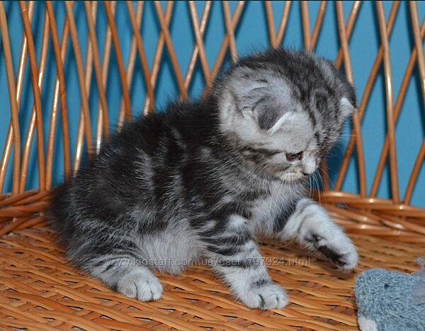 Котята шотландская /британская короткошерстная