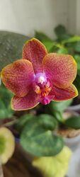 Продам сортовую орхидею