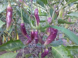 Семена перцев  часть 5