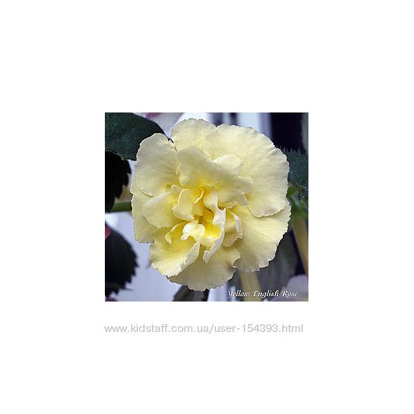 #7: yellow-english rose