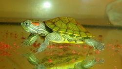 Игривые, добрые малыши красноухой черепахи купить сегодня с доставкой