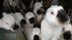 кролики калифорнийцы, белые с черным носиком и ушками, спокойный нрав