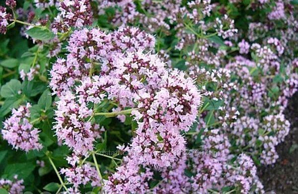 Набір пряних та ароматних рослин