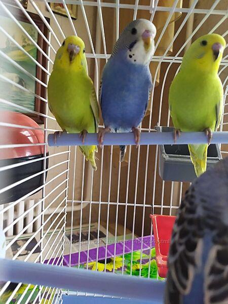 Домашние волнистые попугаи домашнего разведения