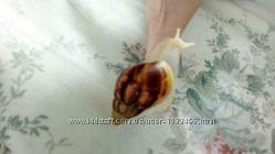 Белые улитки альбино ахатин