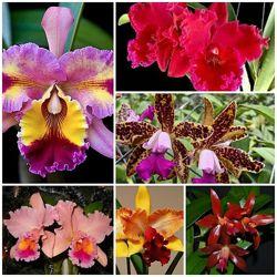 Продам кустики орхидей Каттлей
