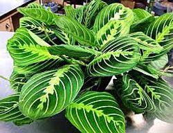 Маранта трёхцветная комнатное декоративнолистное растение