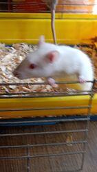 Крысы Дамбо Сямские и голубые