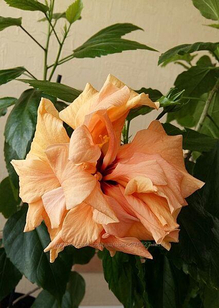 Гибискус Double peach